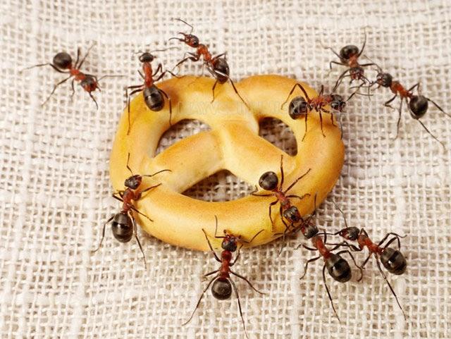 ngăn chặn sự xuất hiện của kiến lửa