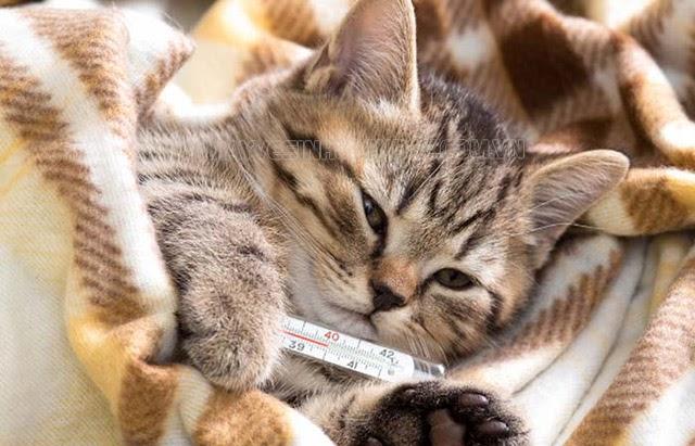 Mèo bị ho khạc kèm sốt là biểu hiện của bệnh phổi