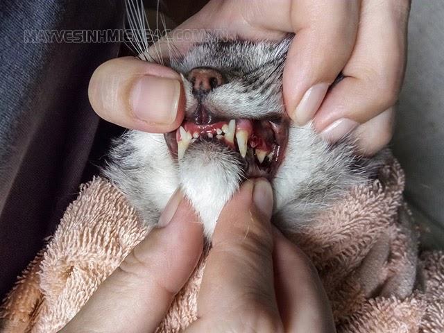 cách chữa mèo bị hóc xương