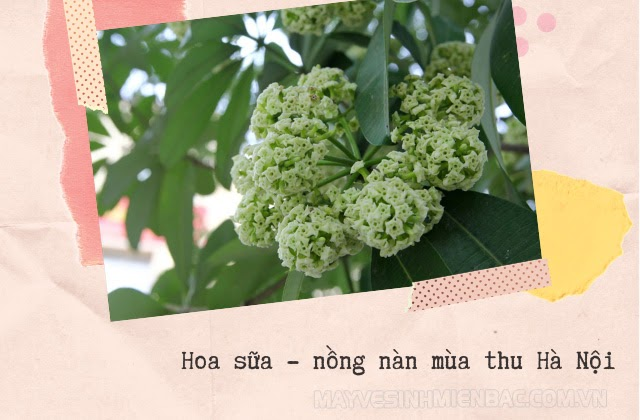 mùa thu hà nội có hoa gì