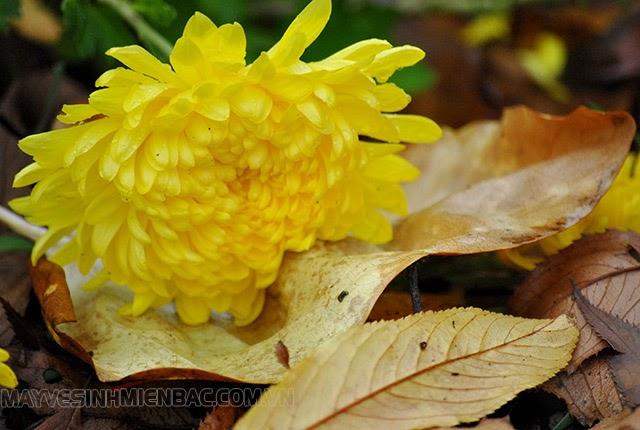 mùa thu thường có hoa gì