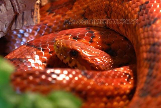 nằm mơ thấy rắn màu đỏ đánh con gì