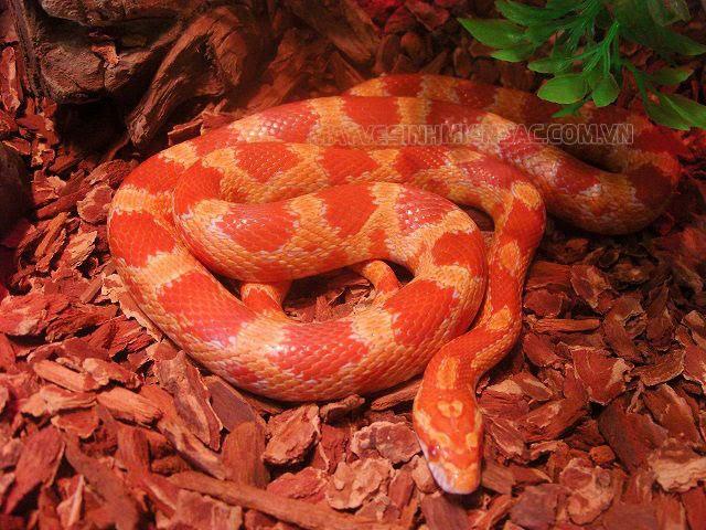 nằm mơ thấy rắn đỏ cắn