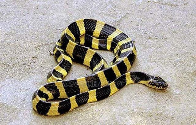 mơ thấy rắn màu vàng đánh con gì