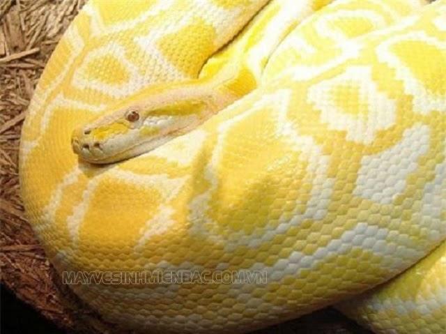 nằm mơ thấy rắn vàng vào nhà